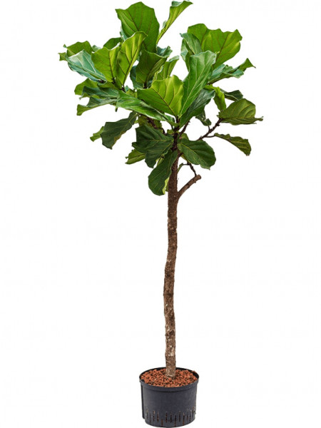 Ficus lyrata 150 cm - Hydrokultur Geigenfeige