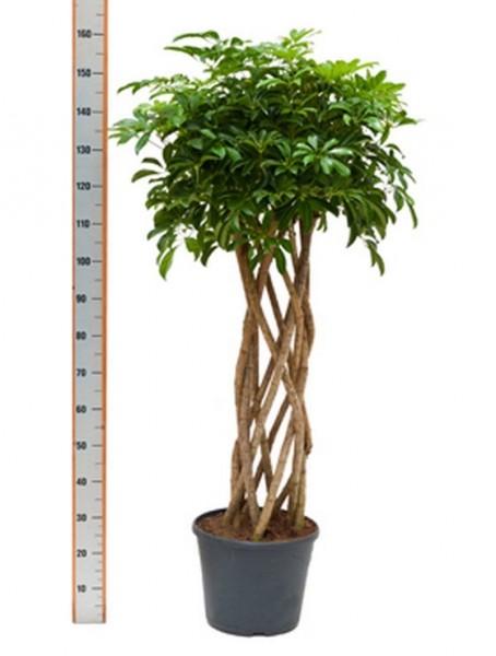 Schefflera arboricola 170 cm - Strahlenaralie