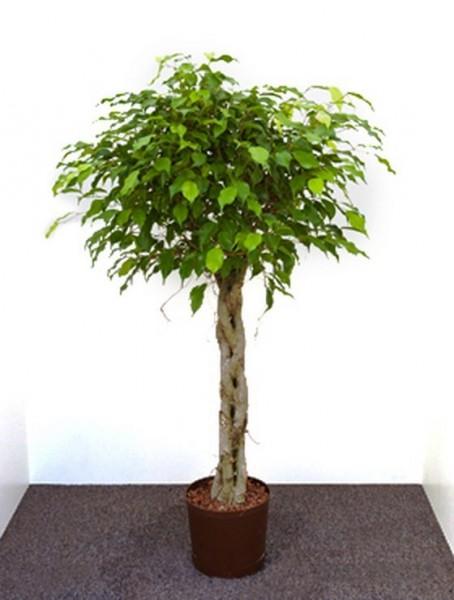 Ficus benjamina | Birkenfeige geflochten