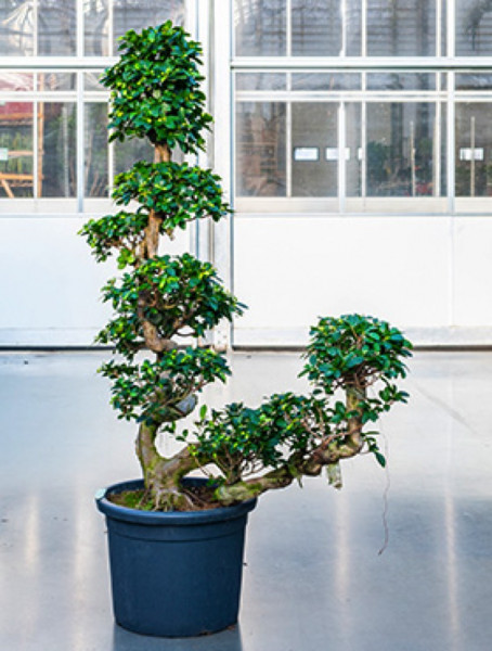 Ficus microcarpa compacta - Stamm S Cascade 170 cm