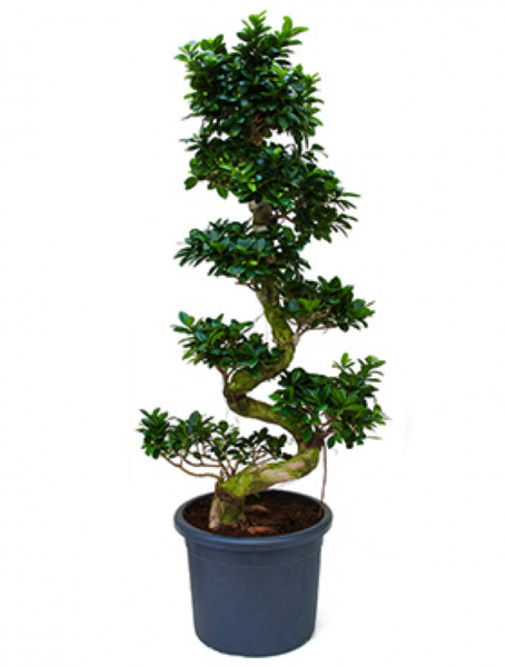 Ficus microcarpa compacta 170 cm - Stamm S