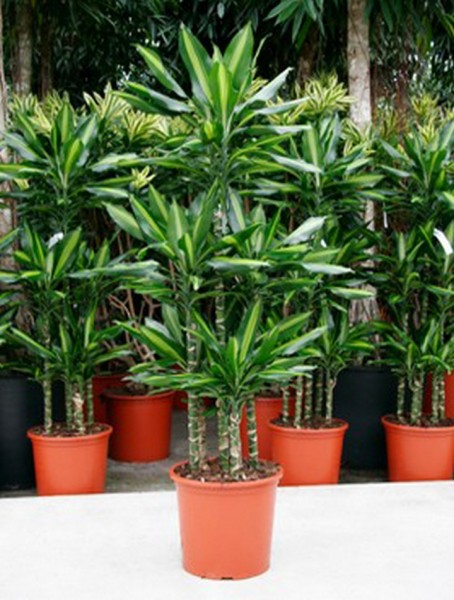 Dracaena cintho 150 cm - Drachenbaum