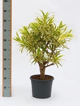 Pleomele song of india 80 cm - Drachenbaum