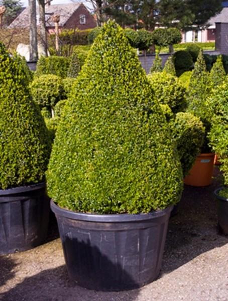 Buxus semp. 180 cm | Buchsbaum Pyramide
