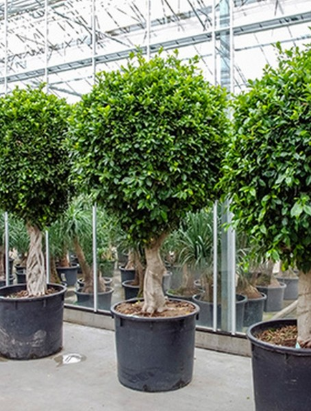 Ficus nitida 270 cm | Chinesische Feige extra