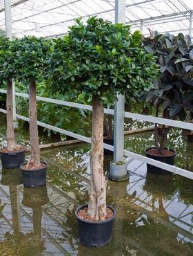 Ficus microcarpa compacta 220 cm