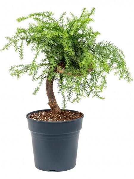 Araucaria cunninghamii 60 cm