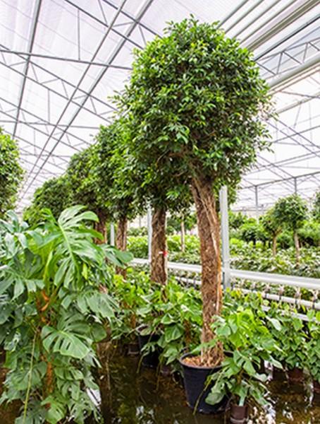 Ficus nitida 420 cm | Chinesische Feige