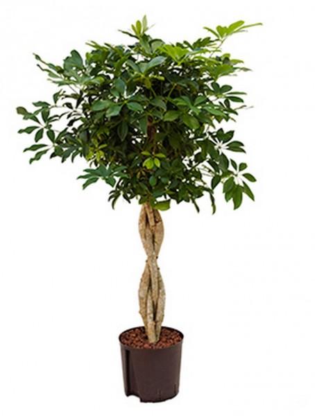 Schefflera arboricola 120 cm