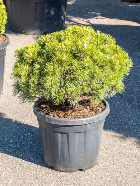 Pinus mugo mops 80 cm