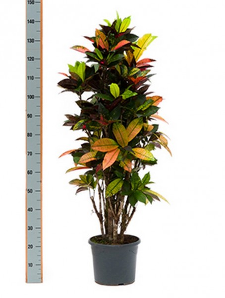 Croton iceton 150 cm - Wunderstrauch
