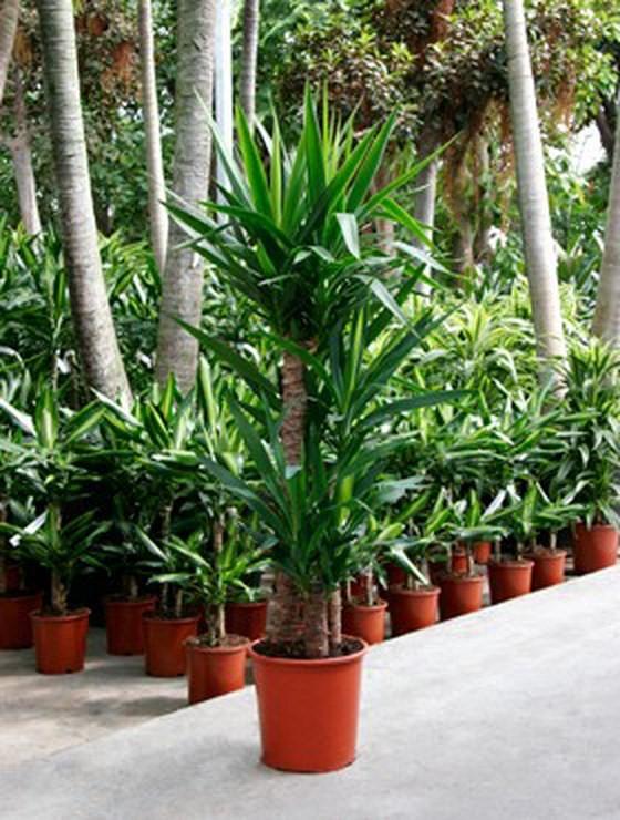Yucca elephantipes 130 cm 3er stamm palmenmarkt - Yucca pied d elephant ...