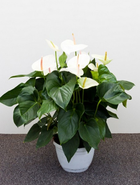 Anthurium and. sierra weiß 65 cm | Flamingoblume