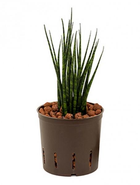 Sansevieria fernwood | Hydrokultur 25 cm