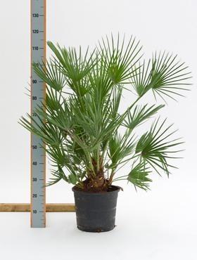 Chamaerops humilis 110 cm
