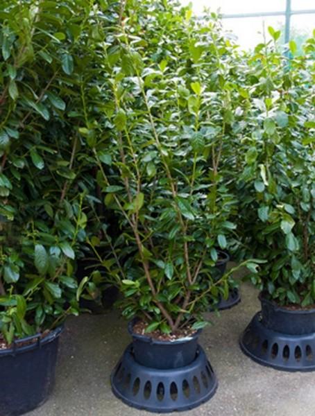 Prunus novita 180 cm - Lorbeerkirsche