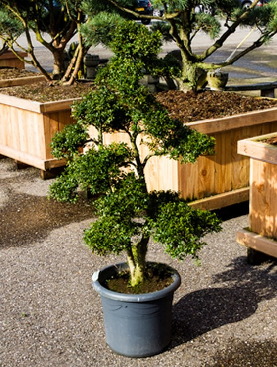ilex crenata 190 cm bonsaibaum palmenmarkt. Black Bedroom Furniture Sets. Home Design Ideas
