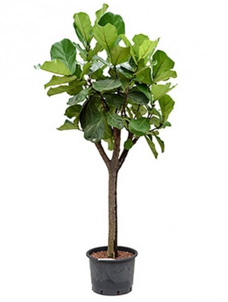 Ficus lyrata 220 cm | Geigenfeige