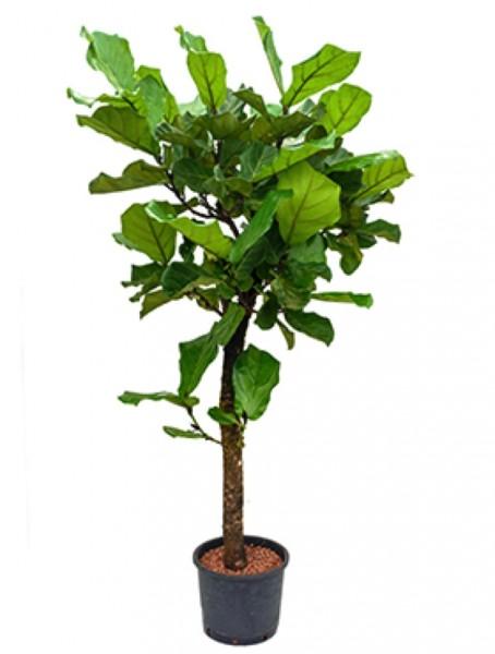 Ficus lyrata 180 cm Hydrokultur