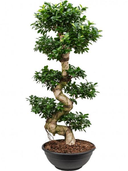 Ficus microcarpa compacta 160 cm - Stamm S