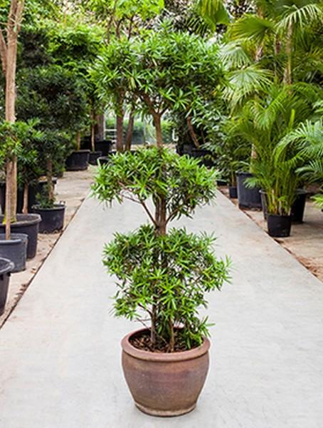 Podocarpus macrophyllus 220 cm - Steineibe