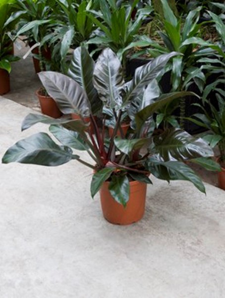 Philodendron imperial red 80 cm