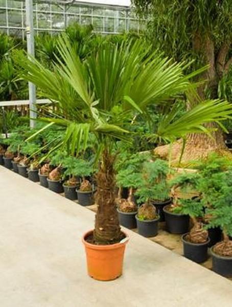 Trachycarpus fortunei 150cm - Hanfpalme