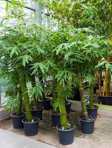 Bambusa vulgaris grün 210 cm | Bambus