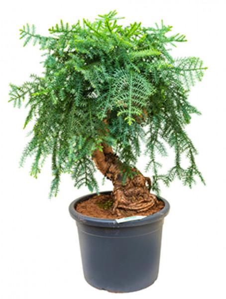 Araucaria cunninghamii 120 cm