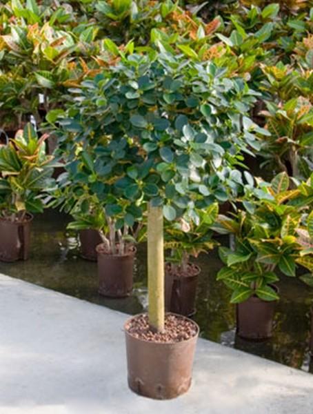 Ficus Panda 85cm