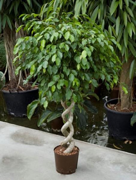 Ficus benjamina 120 cm | Birkenfeige doppel-spirale