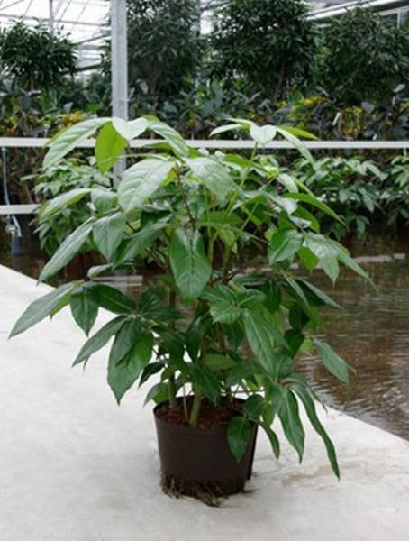 Schefflera amate 100 cm | Strahlenaralie Busch