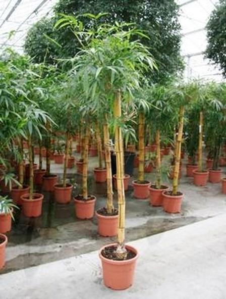 Bambusa vulgaris 220 cm | Gold Bambus