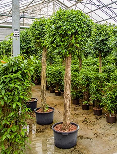 Ficus nitida  320 cm | Chinesische Feige geflochten