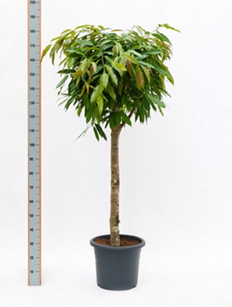 Ficus amstel king 170 cm
