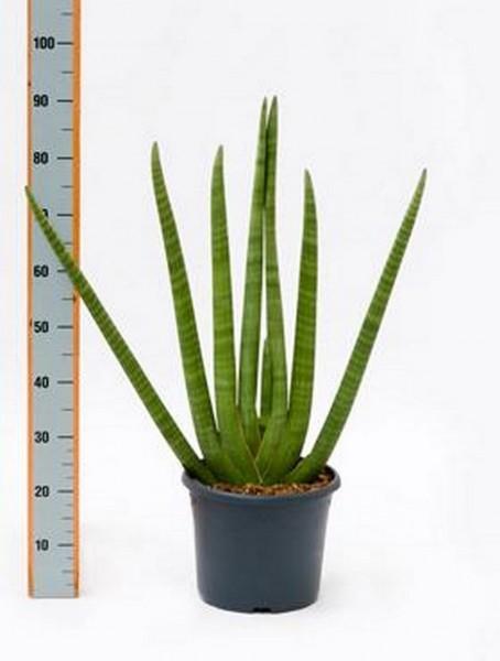 Sansevieria cylindrica - 95 cm