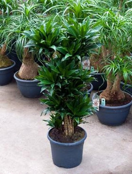 Dracaena compacta 90 cm - Drachenbaum