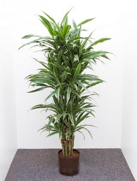 Dracaena deremensis | Drachenbaum multi 100cm