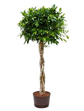 Ficus nitida 150 cm   Chinesische Feige geflochten