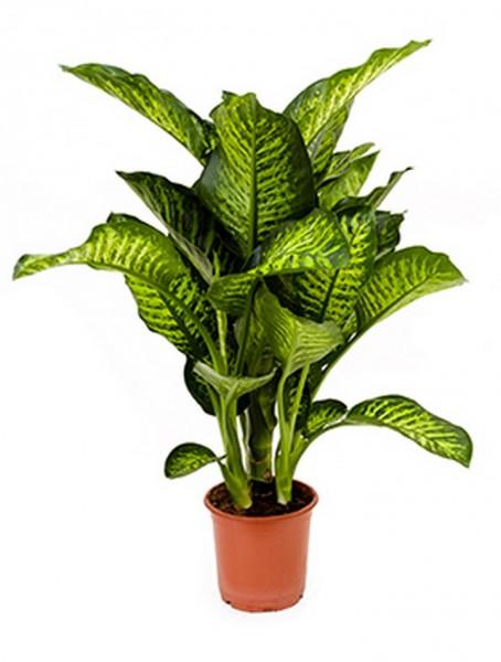 Dieffenbachia maroba 70 cm