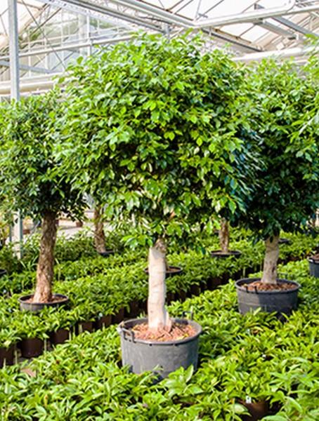 Ficus nitida 260 cm | Chinesische Feige