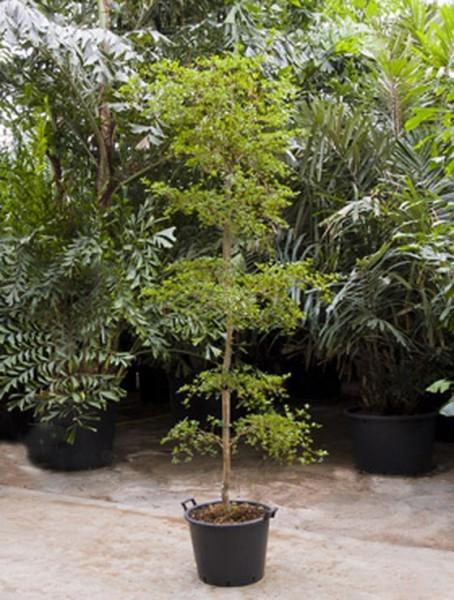 Bucida buceras shady lady 250 cm- schwarze Olive