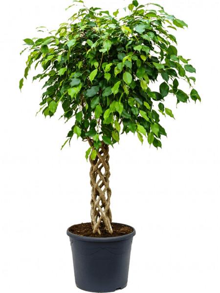 Ficus benjamina - Birkenfeige zylinder 130 cm
