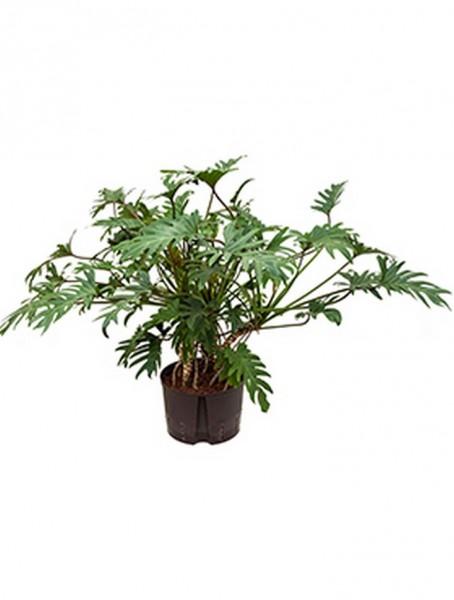 Philodendron xanadu 90 cm