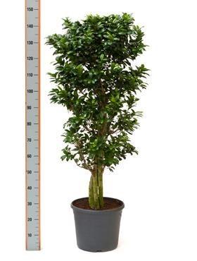Ficus microcarpa compacta 140 cm