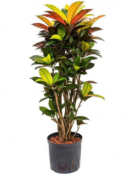 Croton iceton - Wunderstrauch Hydropflanze 90 cm