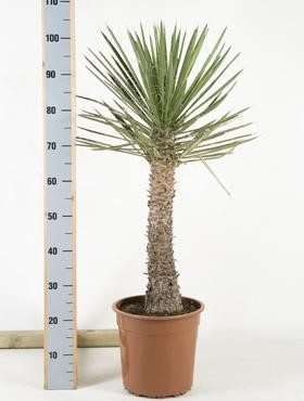 Yucca filifera 110 cm   Winterharte Yucca Palme