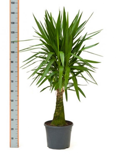 Yucca elephantipes 140 cm | Stamm