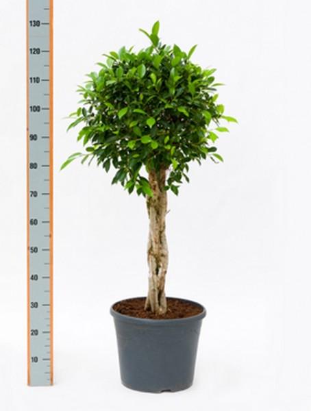 Ficus nitida 130 cm   Chinesische Feige geflochten