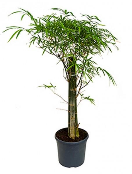 Bambusa siamensis 140 cm | 3er Stamm Bambus